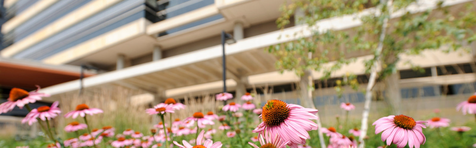 Purple coneflowers bloom in front of the exterior of the Wisconsin Institutes for Medical Research (WIMR)