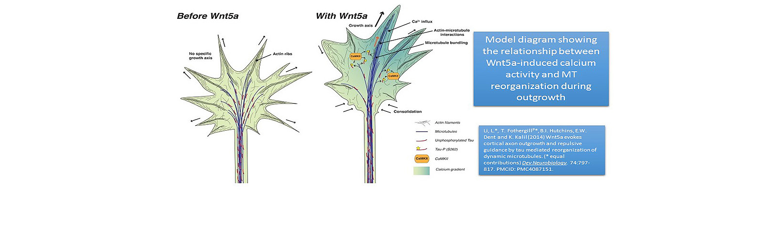 Model diagram showing the relationship between Wnt5a-induced calcium activity and MT reorganization during outgrowth