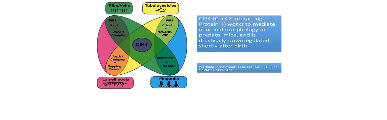 CIP4 (Cdc42 interacting protein 4) Diagram describing neuronal morphology in prenatal mice
